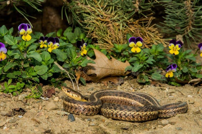 Ανατολικό Garter φίδι (sauritus Thamnophis) στοκ φωτογραφίες