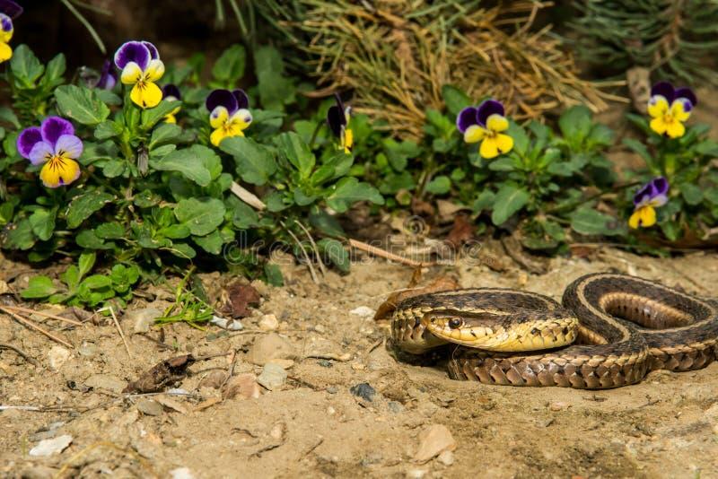 Ανατολικό Garter φίδι (sauritus Thamnophis) στοκ εικόνα με δικαίωμα ελεύθερης χρήσης