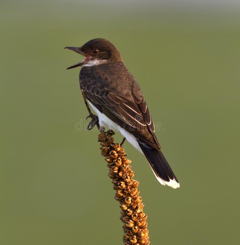 Ανατολικό Kingbird στοκ εικόνες