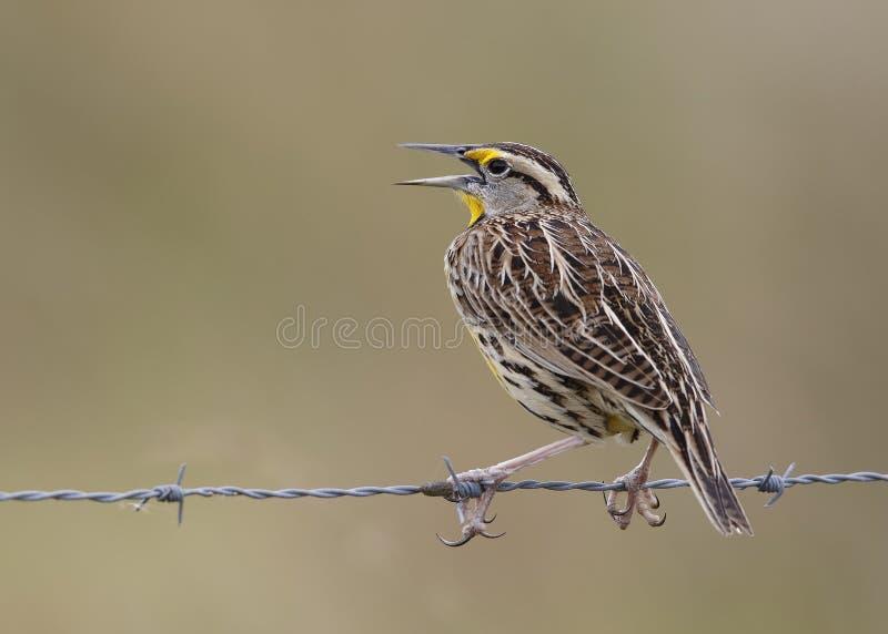 Ανατολικό Meadowlark που σκαρφαλώνει σε έναν φράκτη καλωδίων - Φλώριδα στοκ φωτογραφίες με δικαίωμα ελεύθερης χρήσης