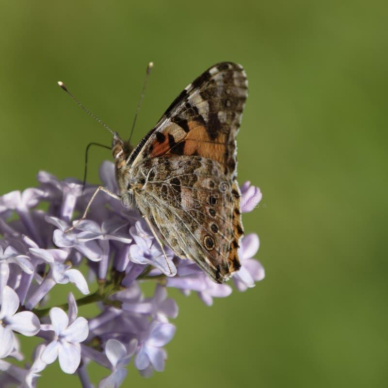 Αναφυλαξία πεταλούδων στα ιώδη χρώματα Κνίδωση πεταλούδων στοκ φωτογραφία με δικαίωμα ελεύθερης χρήσης