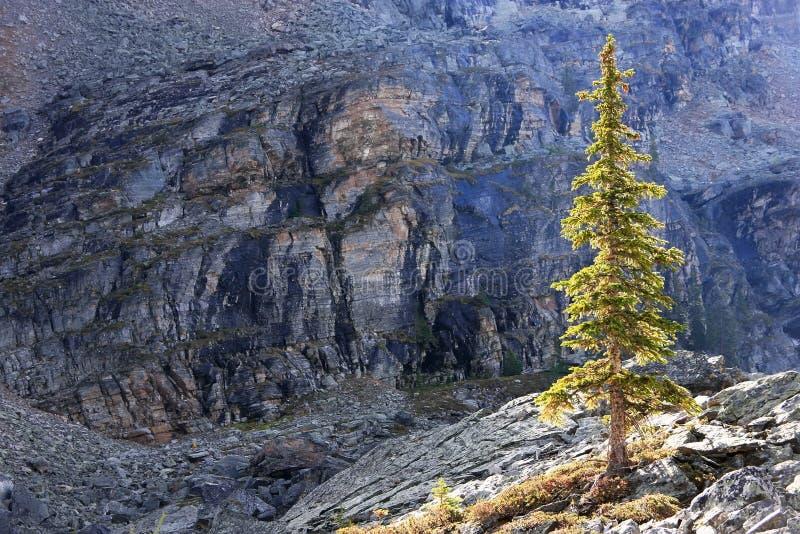 Αναδρομικά φωτισμένο δέντρο πεύκων, οροπέδιο Opabin, εθνικό πάρκο Yoho, Καναδάς στοκ εικόνες με δικαίωμα ελεύθερης χρήσης