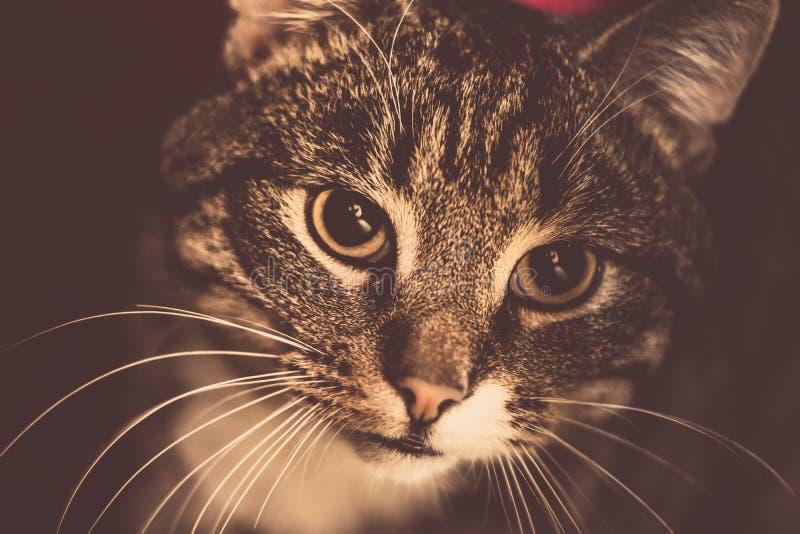 Αναδρομικό τιγρέ πορτρέτο γατών στοκ εικόνες