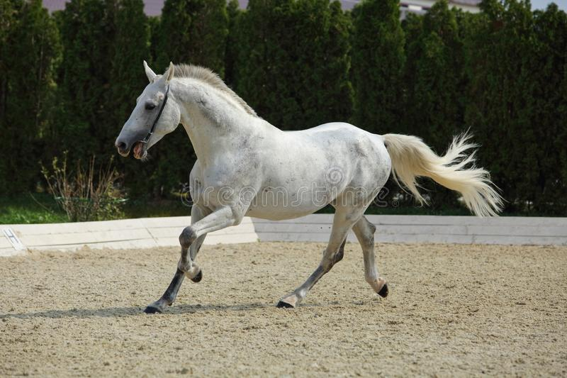 Ανδαλουσιακό άλογο που καλπάζει κοντά στο σταύλο στοκ εικόνες
