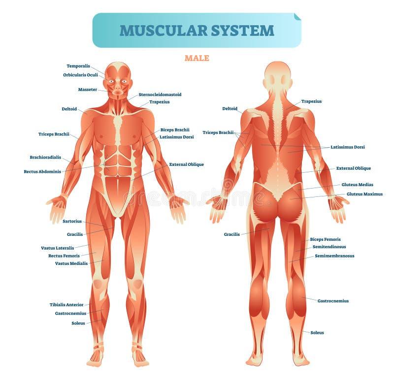 Ανδρικό μυϊκό σύστημα, πλήρες ανατομικό διάγραμμα σωμάτων με το σχέδιο μυών, διανυσματική εκπαιδευτική αφίσα απεικόνισης απεικόνιση αποθεμάτων