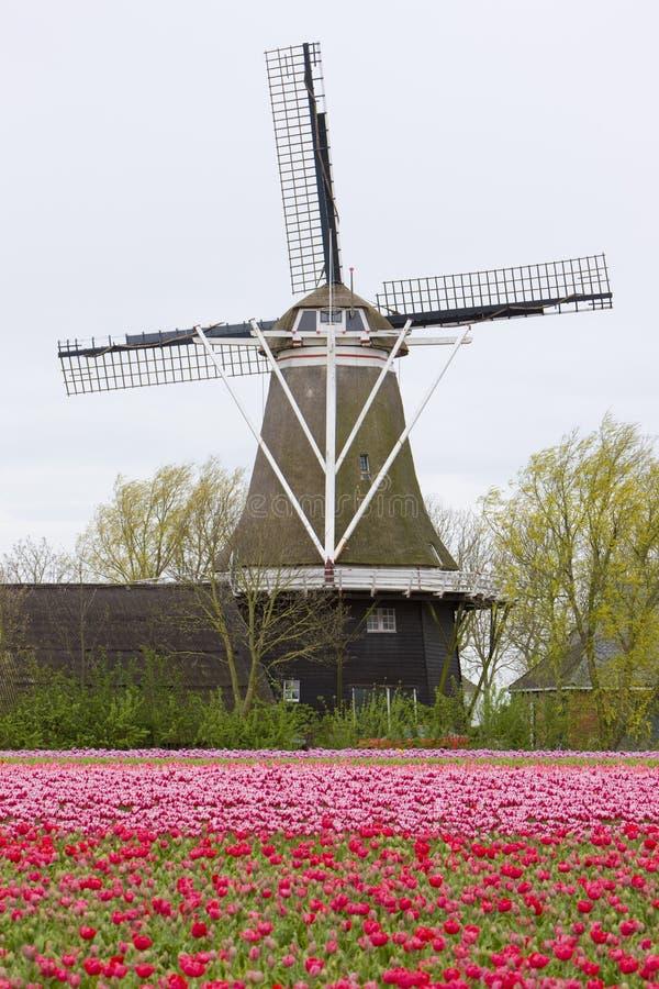 ανεμόμυλος με τον τομέα τουλιπών, Holwerd, Κάτω Χώρες στοκ εικόνα