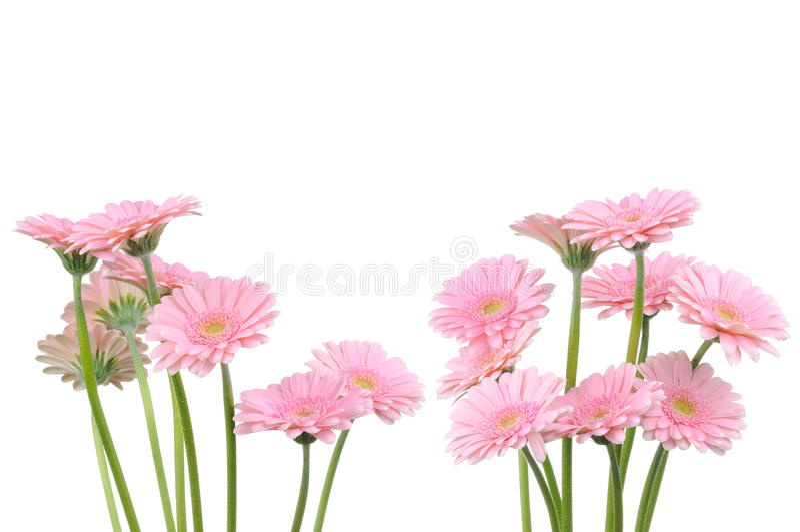 ανθίζει gerber το ροζ στοκ φωτογραφία