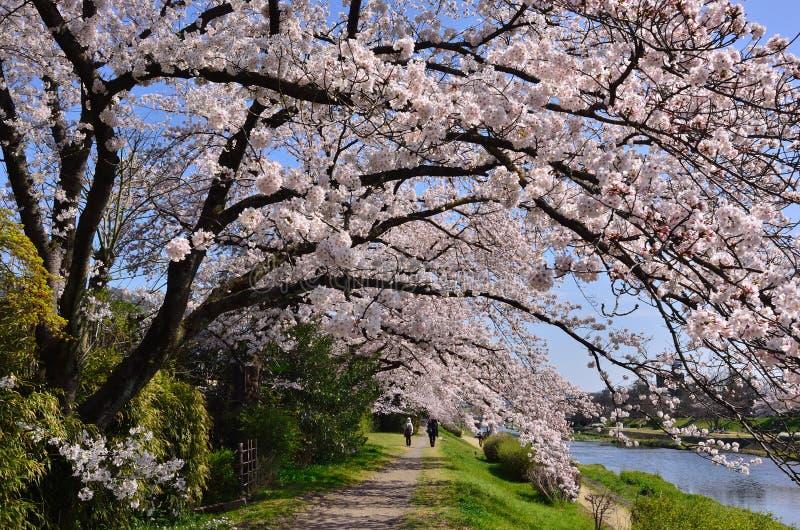 Ανθίζοντας άνθος κερασιών, άνοιξη στο Κιότο Ιαπωνία στοκ φωτογραφίες