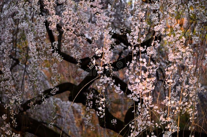 Ανθίζοντας άνθος κερασιών την ιαπωνική άνοιξη garden〠 στοκ φωτογραφίες
