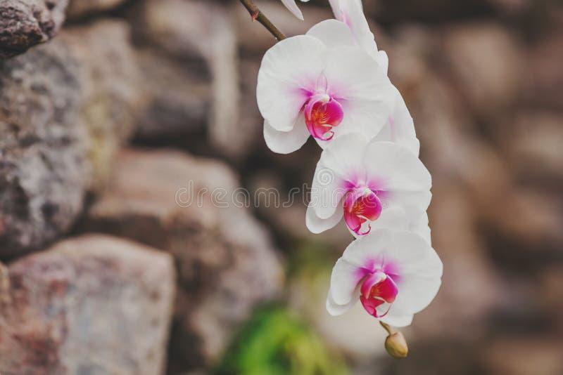 Ανθίζοντας άσπρα λουλούδια ορχιδεών στο θολωμένο υπόβαθρο στοκ φωτογραφία με δικαίωμα ελεύθερης χρήσης
