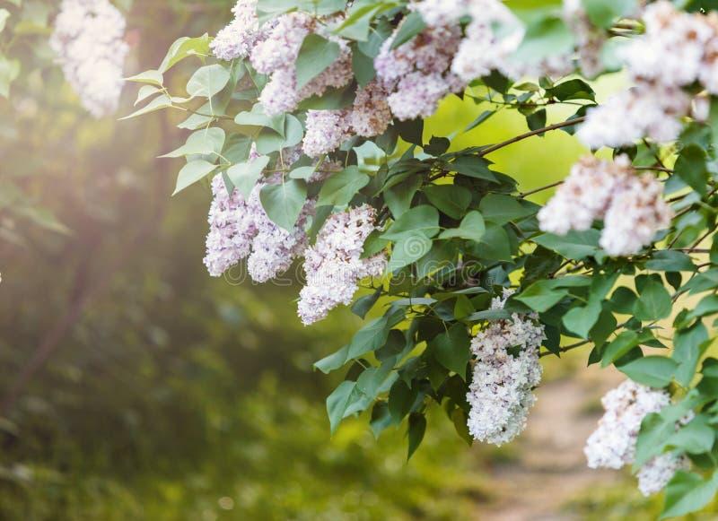 Ανθίζοντας άσπρος θάμνος llilac στο χρόνο άνοιξη με το φως του ήλιου Ανθίζοντας πορφυρά και ιώδη ιώδη λουλούδια Εποχή άνοιξης, φύ στοκ εικόνα με δικαίωμα ελεύθερης χρήσης