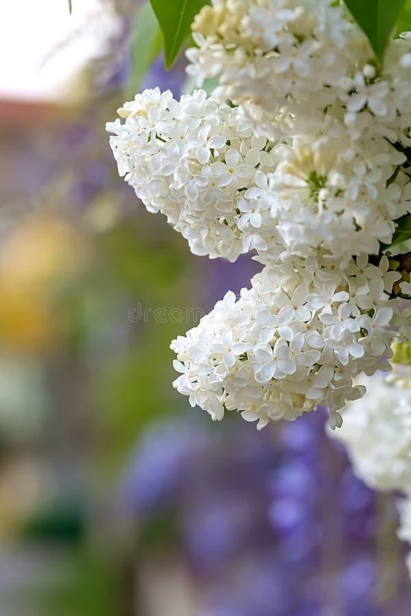 Ανθίζοντας άσπρος ιώδης κλάδος στην άνοιξη Ιώδη άνθη κλάδων στοκ φωτογραφία με δικαίωμα ελεύθερης χρήσης