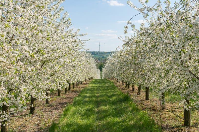 Ανθίζοντας δέντρα κερασιών στις σειρές στον κήπο γεωργία comcept στοκ φωτογραφίες με δικαίωμα ελεύθερης χρήσης