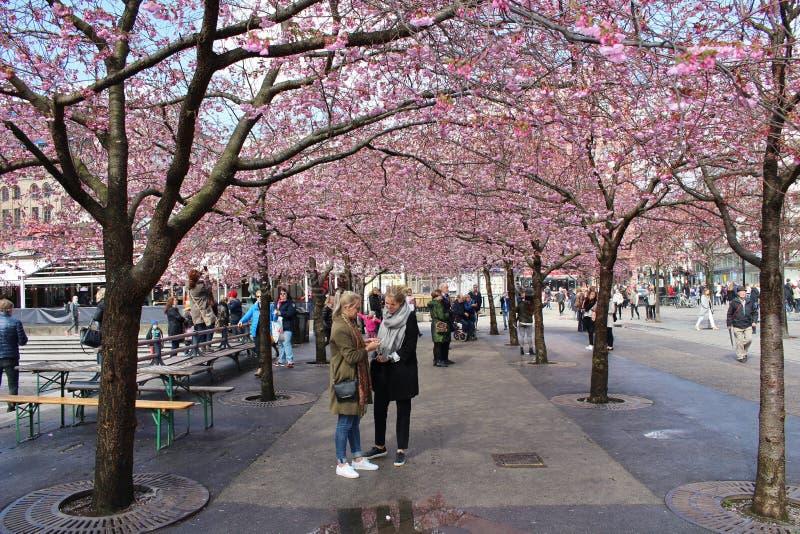 Ανθίζοντας δέντρα κερασιών στοκ φωτογραφία με δικαίωμα ελεύθερης χρήσης