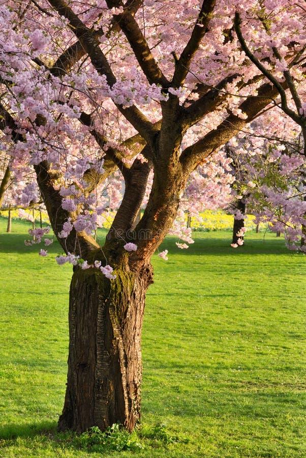 Ανθίζοντας δέντρο κερασιών σε έναν χορτοτάπητα στοκ φωτογραφία με δικαίωμα ελεύθερης χρήσης
