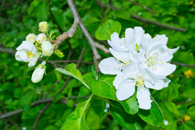 ανθίζοντας δέντρο μήλων στοκ φωτογραφίες με δικαίωμα ελεύθερης χρήσης