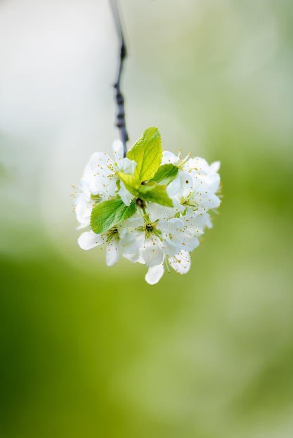 ανθίζοντας δέντρο μήλων στοκ εικόνες με δικαίωμα ελεύθερης χρήσης