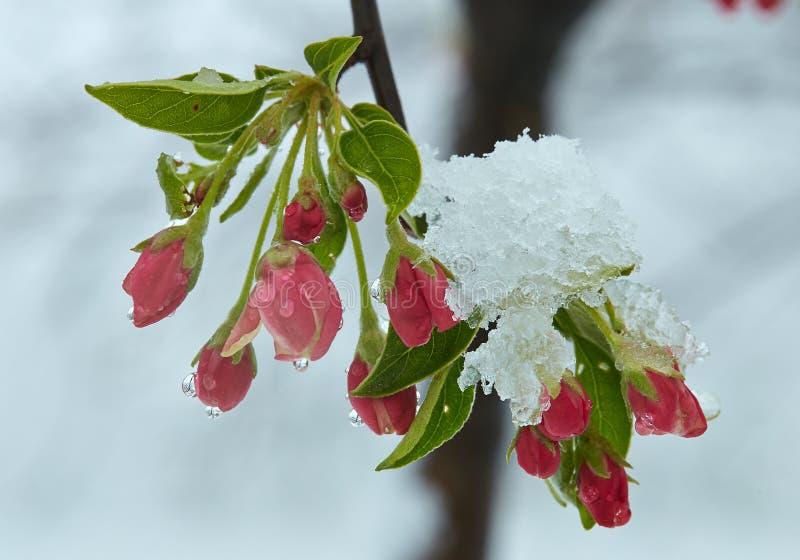 Ανθίζοντας δέντρο μηλιάς κάτω από το χιόνι στοκ εικόνες με δικαίωμα ελεύθερης χρήσης