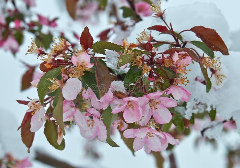 Ανθίζοντας δέντρο μηλιάς κάτω από το χιόνι στοκ φωτογραφίες