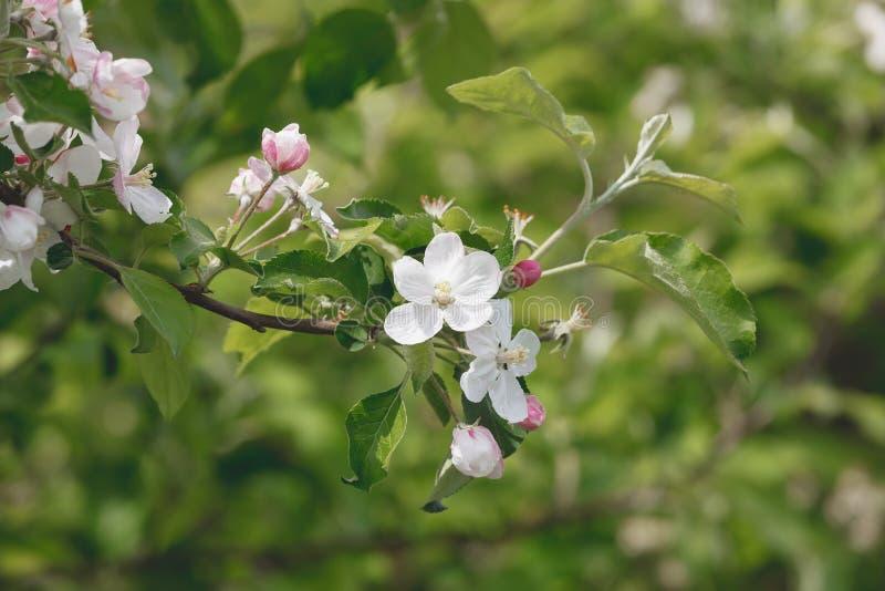 Ανθίζοντας δέντρο μηλιάς μια φωτεινή ημέρα άνοιξη στοκ εικόνα με δικαίωμα ελεύθερης χρήσης