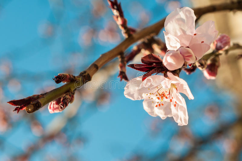 Ανθίζοντας δέντρο στην άνοιξη στοκ εικόνα με δικαίωμα ελεύθερης χρήσης