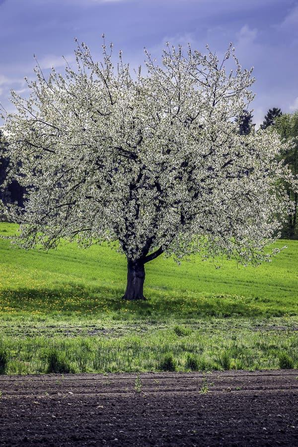 Ανθίζοντας δέντρο στοκ φωτογραφία με δικαίωμα ελεύθερης χρήσης