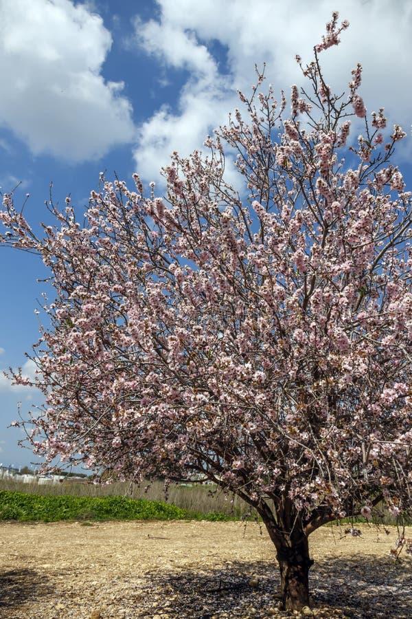 Ανθίζοντας αμυγδαλιά στα ρόδινα λουλούδια ενάντια στον ουρανό στοκ φωτογραφία