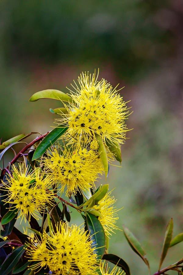 Ανθίζοντας αυστραλιανό Wattle δέντρο στοκ φωτογραφίες