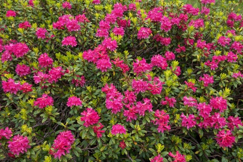Ανθίζοντας αλπικά τριαντάφυλλα στοκ φωτογραφία με δικαίωμα ελεύθερης χρήσης