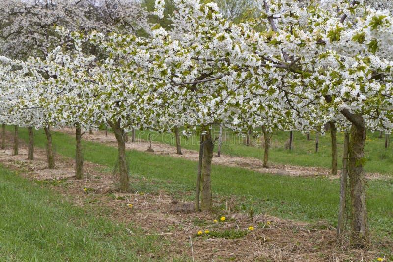 ανθίζοντας δέντρα άνοιξη σειρών κερασιών στοκ εικόνα με δικαίωμα ελεύθερης χρήσης