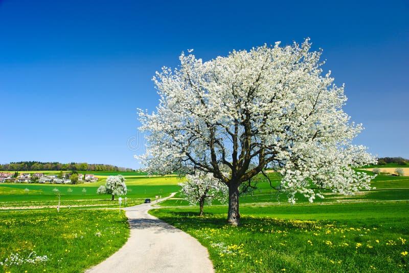 ανθίζοντας δέντρα άνοιξη στοκ εικόνα
