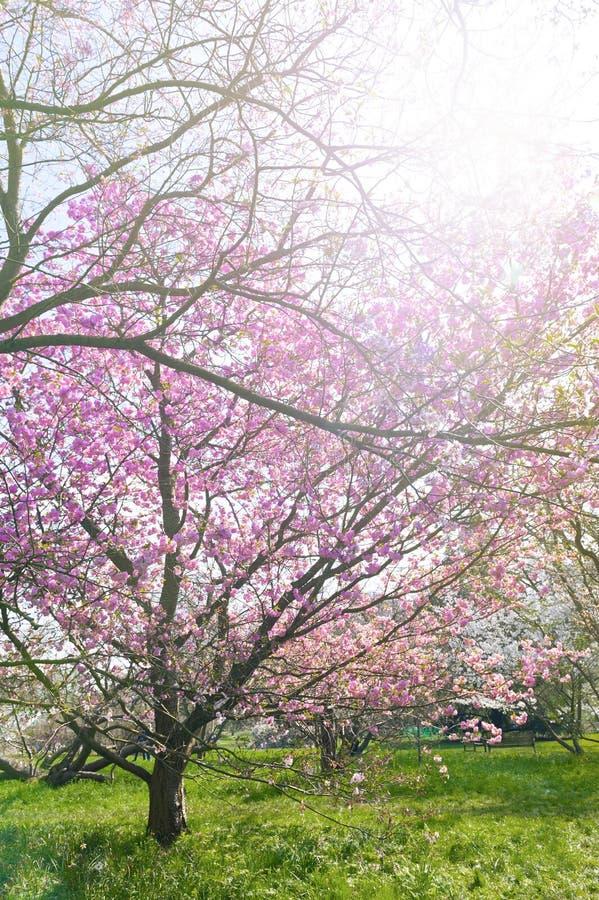 Ανθίζοντας δέντρα ανθών κερασιών στον κήπο στοκ φωτογραφία με δικαίωμα ελεύθερης χρήσης