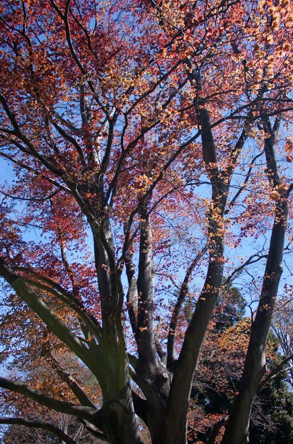 Ανθίζοντας δέντρα με τα διαβασμένα φύλλα στους βοτανικούς κήπους Christchurch στη Νέα Ζηλανδία στοκ εικόνα