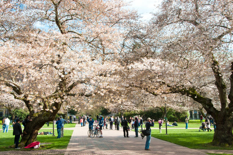 ανθίζοντας δέντρα πανεπιστημιακή Ουάσιγκτον κερασιών στοκ εικόνες με δικαίωμα ελεύθερης χρήσης