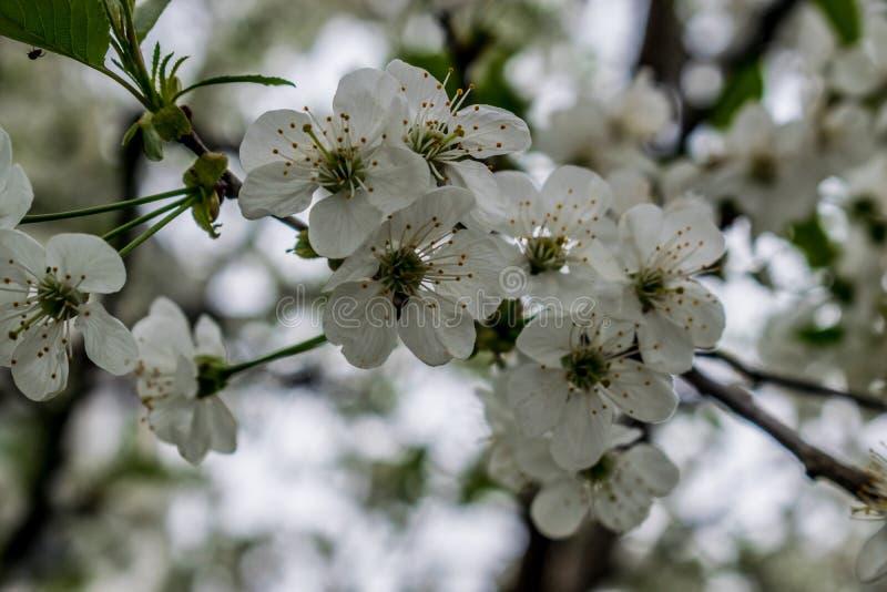Ανθίζοντας δέντρο κερασιών στοκ εικόνα με δικαίωμα ελεύθερης χρήσης