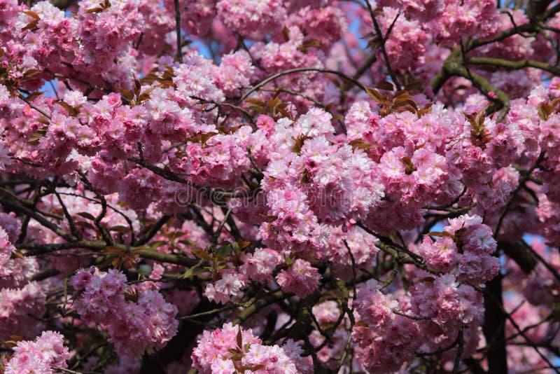 ανθίζοντας δέντρο κερασ&iot στοκ εικόνα με δικαίωμα ελεύθερης χρήσης