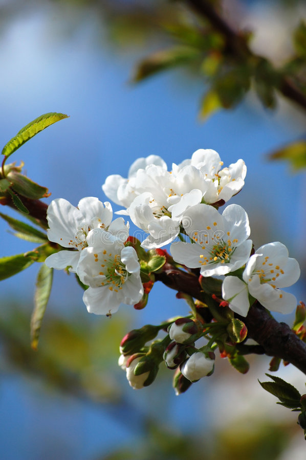 ανθίζοντας δέντρο κερασ&iot στοκ εικόνες