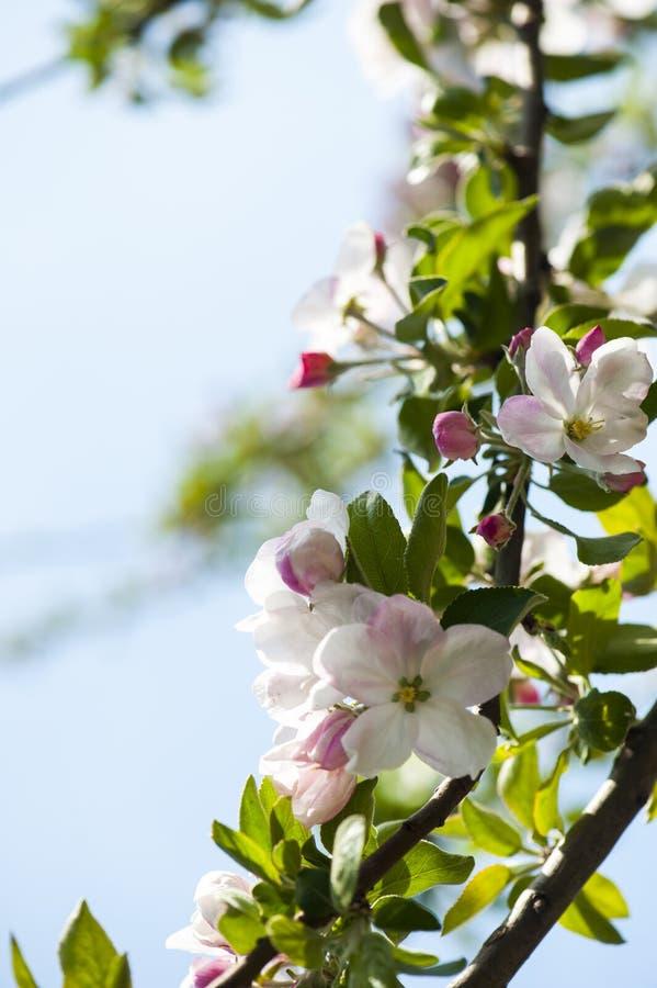 Ανθίζοντας δέντρο λουλουδιών μήλων στοκ φωτογραφία