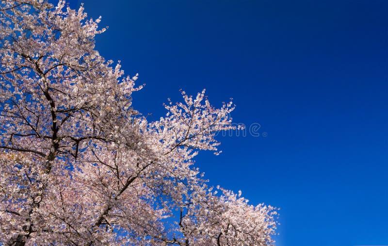 Ανθίζοντας δέντρο στην άνοιξη στο κλίμα μπλε ουρανού στοκ εικόνες
