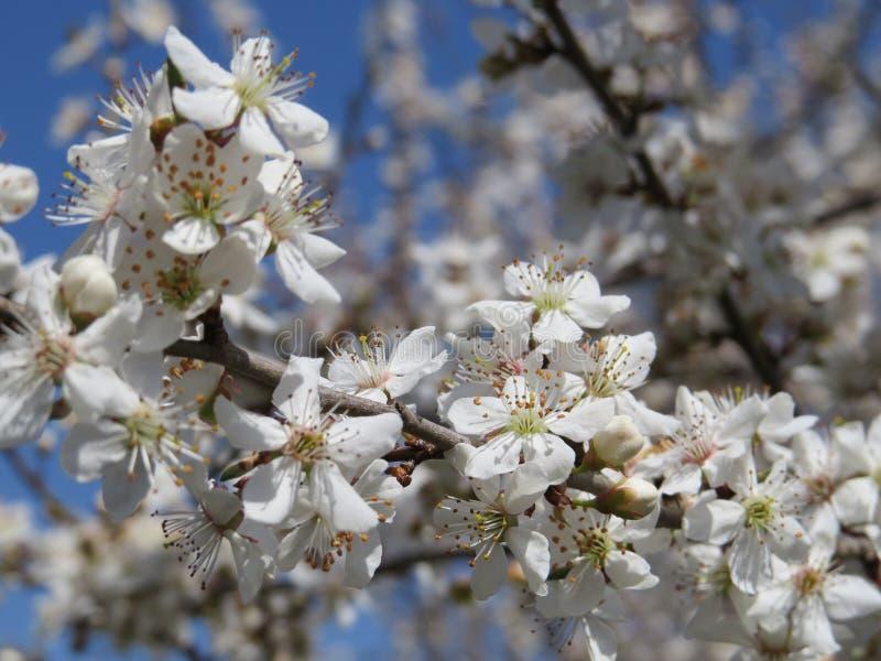 Ανθίζοντας δέντρο της Apple στους κήπους του βόρειου Καύκασου, το ξύπνημα της φύσης την άνοιξη στοκ φωτογραφίες