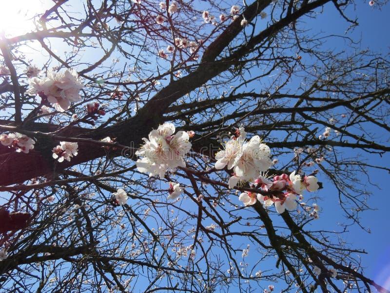 Ανθίζοντας δέντρο της Apple στους κήπους του βόρειου Καύκασου, το ξύπνημα της φύσης την άνοιξη στοκ φωτογραφία με δικαίωμα ελεύθερης χρήσης
