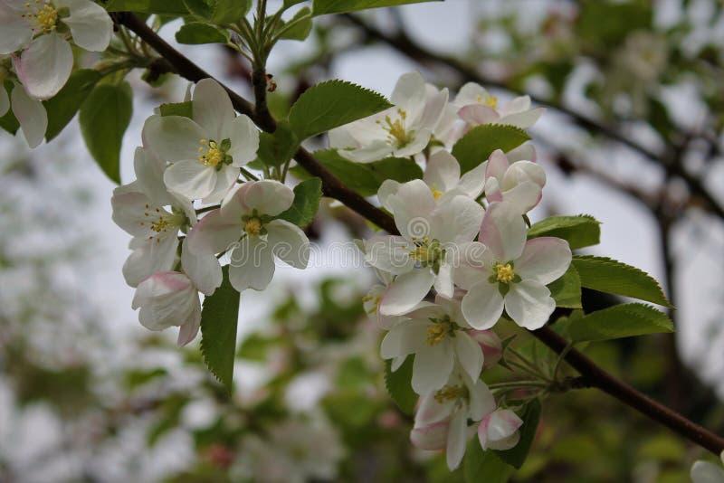 Ανθίζοντας δέντρο της Apple στοκ φωτογραφίες