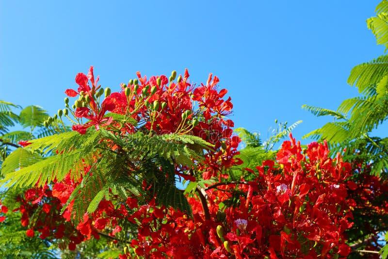 Ανθίζοντας δέντρο φλογών, βασιλικό regia Delonix poinciana στον κήπο θερέτρου Τροπικά διακοσμητικά ενδημικά είδη δέντρων από στοκ εικόνες
