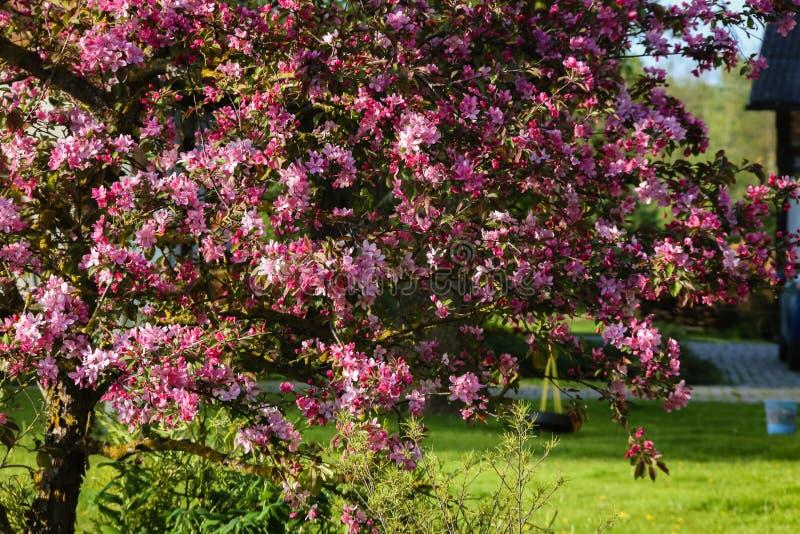 ανθίζοντας διακοσμητικό δέντρο μηλιάς, ρόδινα λουλούδια μήλων στοκ εικόνα