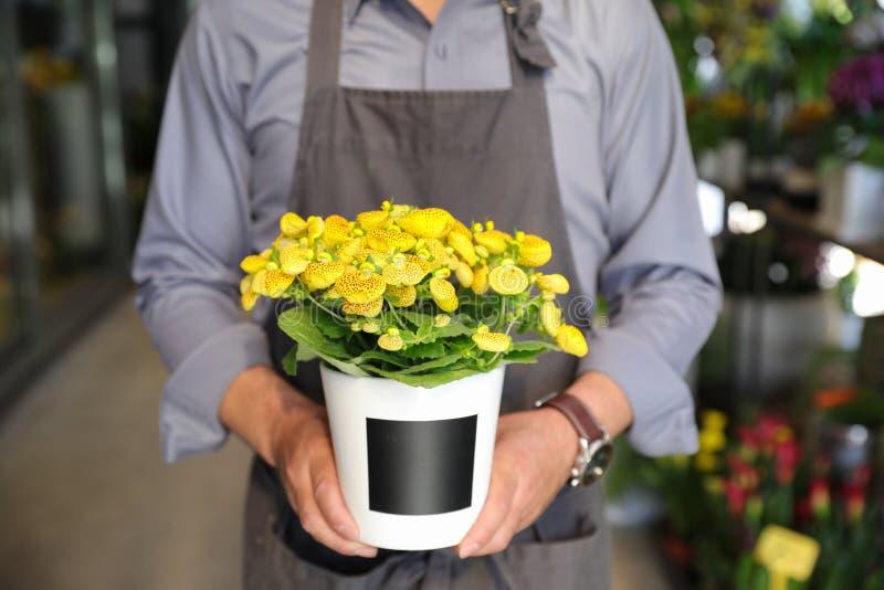 Ανθίζοντας εγκαταστάσεις ν herbeohybrida καλκεολαριών εκμετάλλευσης ανθοκόμων flowerpot στο ανθοπωλείο στοκ φωτογραφία με δικαίωμα ελεύθερης χρήσης