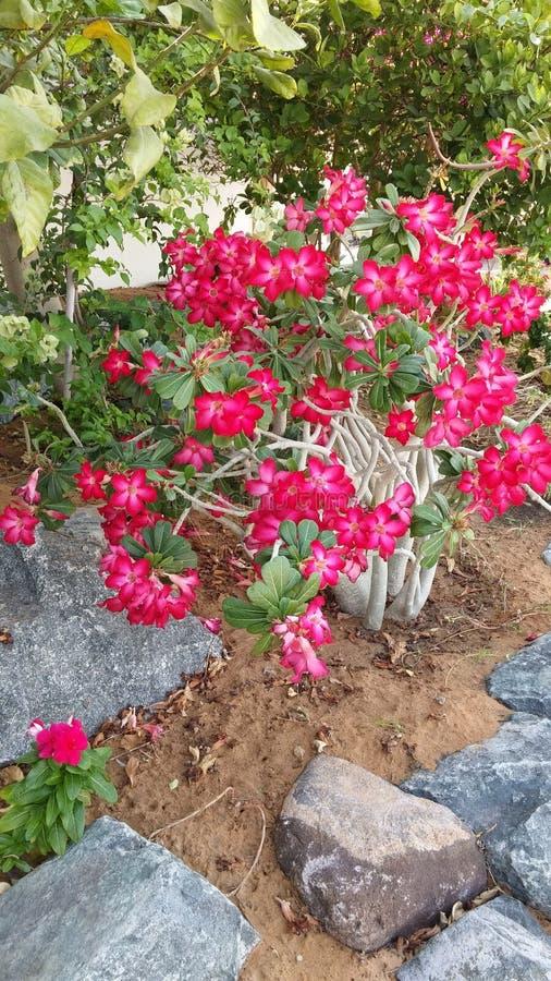 Ανθίζοντας θάμνος Εξωτικός θάμνος κήπων με δύο τονισμένες κόκκινες και άσπρες ανθίσεις στοκ εικόνες με δικαίωμα ελεύθερης χρήσης