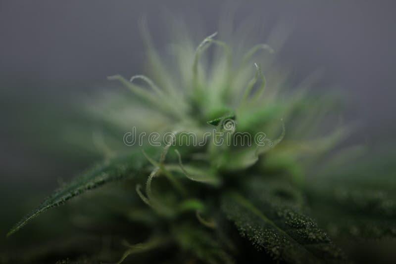 Ανθίζοντας ιατρικές εγκαταστάσεις καννάβεων λουλουδιών μαριχουάνα στοκ εικόνες