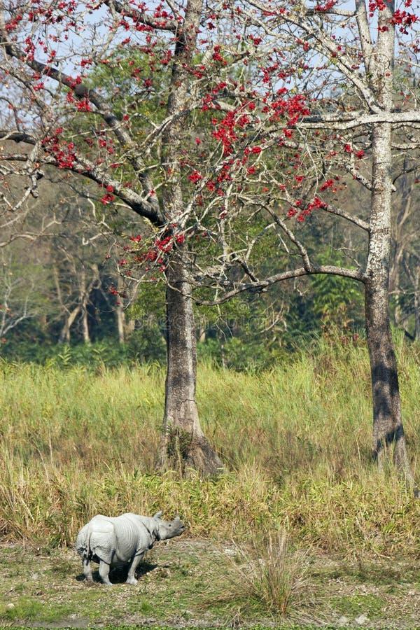 ανθίζοντας ινδικό δέντρο ρ&i στοκ εικόνα με δικαίωμα ελεύθερης χρήσης