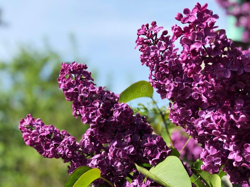 Ανθίζοντας ιώδη λουλούδια στο δέντρο στοκ φωτογραφίες
