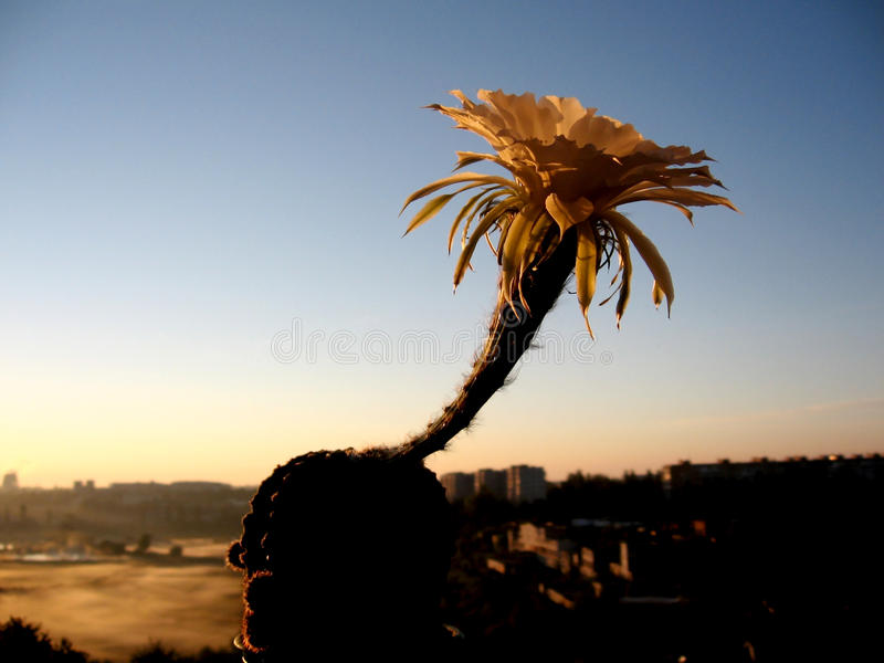 Ανθίζοντας κάκτος περιγράμματος κάκτων στην ανατολή/το ηλιοβασίλεμα στοκ φωτογραφία